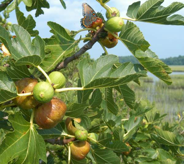 Hog Island Figs