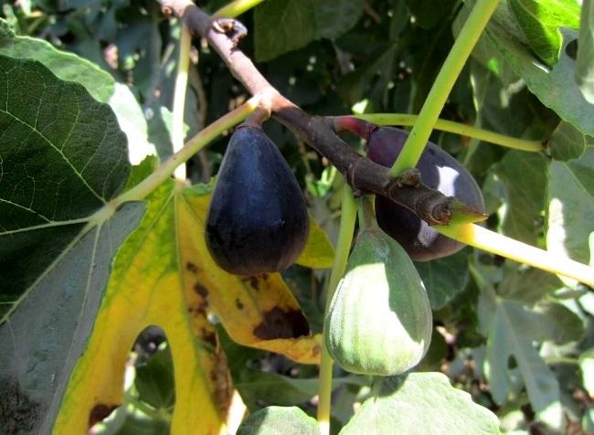 chile_figs