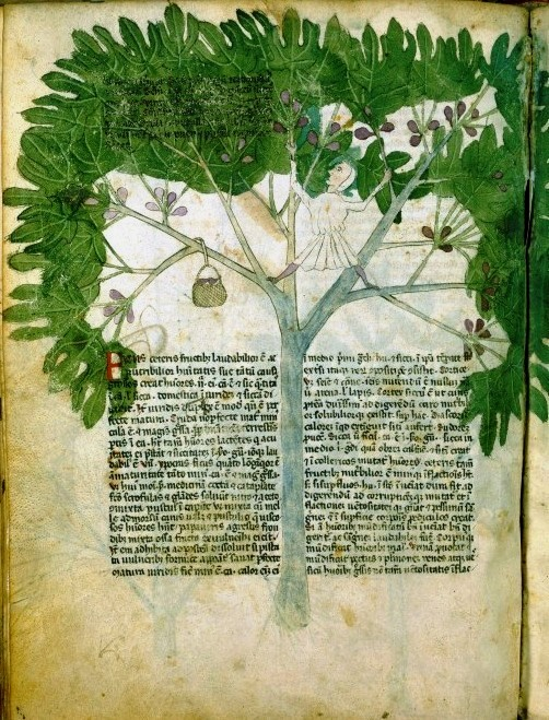 Botanical-Medieval-Person-in-fig-tree