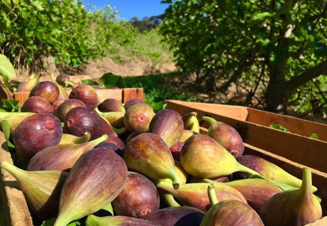australian figs