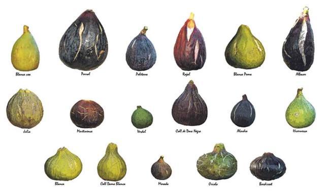 Diecisiete de las diecinueve variedades de higos que ha recuperado el GEN en su finca