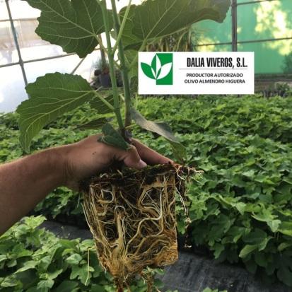 2 planta de higuera en invernadero