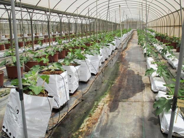 Cultivo hidropónico e intensivo de higueras en Paiporta