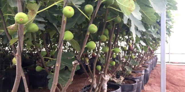 higo-plantas-660x330